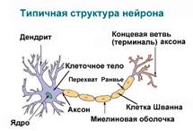 Структура нейронов